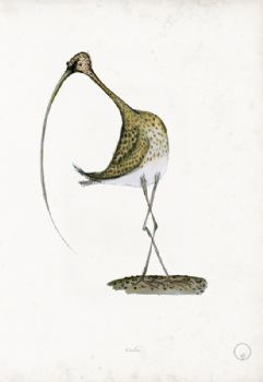Curlew - artist signed print